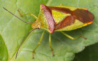 Acanthosoma haemorrhoidale · gudobelinė skydblakė 0768