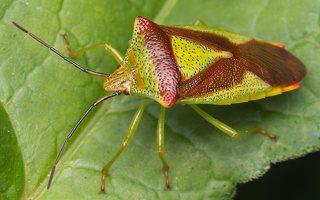 Acanthosoma haemorrhoidale · gudobelinė skydblakė 0769