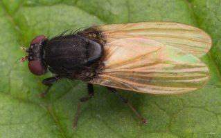 Minettia longipennis · girinukė 0771
