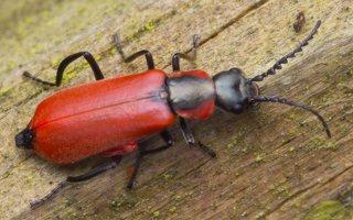 Anthocomus rufus · pūsliavabalis 0800
