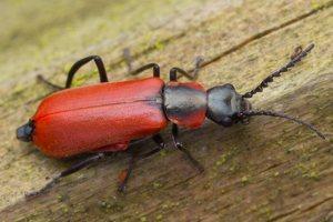 Anthocomus rufus · pūsliavabalis 0801