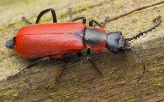 Malachiidae · pūsliavabaliai