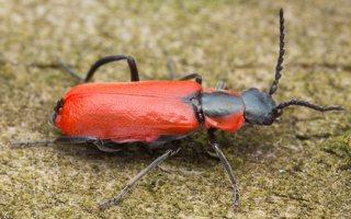 Anthocomus rufus · pūsliavabalis 0807