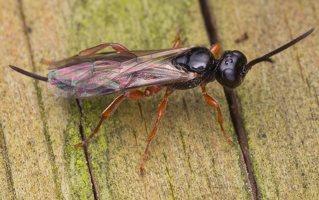 Ichneumonidae · vytis 0813
