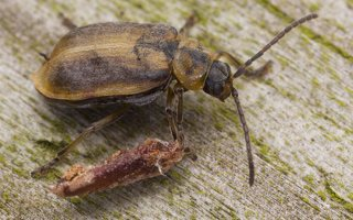 Galerucella lineola · guobinis aksominukas 0828
