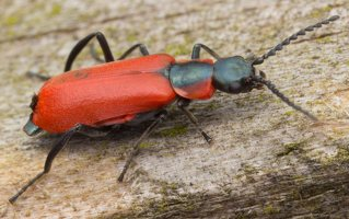 Anthocomus rufus · pūsliavabalis 0830