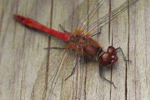 Sympetrum sanguineum male · kruvinoji skėtė ♂ 0843