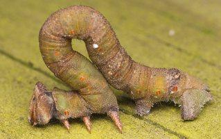 Biston betularia caterpillar · beržinis šeriasprindis, vikšras 0862