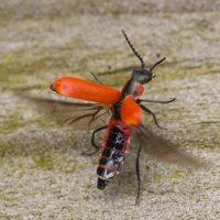 Anthocomus rufus · pūsliavabalis 0869
