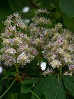 Aesculus hippocastanum · paprastasis kaštonas