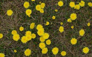 Pilosella officinarum · vienagraižė vanagė