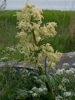 Rheum rhabarbarum inflorescence · daržovinis rabarbaras, žiedynas