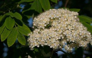 Sorbus aucuparia inflorescensce · paprastasis šermukšnis, žiedynas
