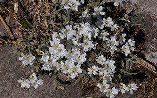 Cerastium tomentosum · gauruotoji glažutė