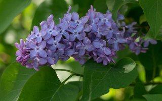 Syringa vulgaris · paprastoji alyva