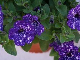 Petunia × atkinsiana · darželinė petunija