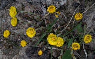 Tussilago farfara · ankstyvasis šalpusnis