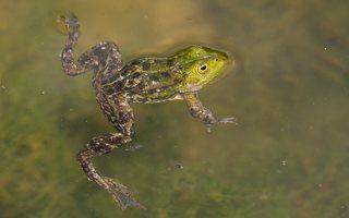 Pelophylax lessonae · mažoji kūdrinė varlė