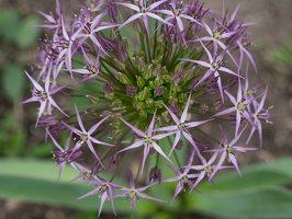 Allium cristophii · standžiažiedis česnakas