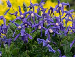 Clematis integrifolia · sveikalapė raganė