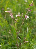 Silene latifolia · baltasis šakinys