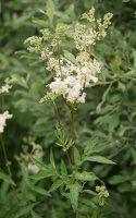 Filipendula ulmaria · pelkinė vingiorykštė