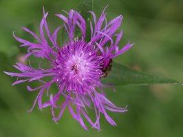 Centaurea jacea · pakrūminė bajorė