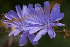 Cichorium intybus · paprastoji trūkažolė