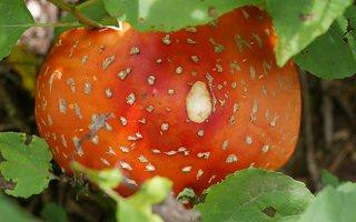 Amanita muscaria · paprastoji musmirė