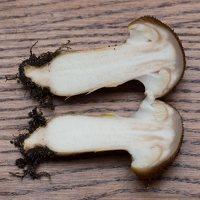 Armillaria mellea · paprastasis kelmutis 1034