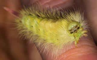 Calliteara pudibunda caterpillar · raudonuodegis verpikas, vikšras 1007