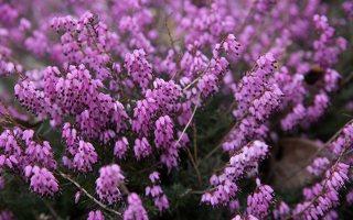 Erica carnea · pavasarinė erika