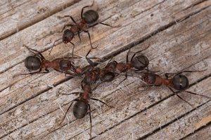 Formicidae · skruzdėlės 1225