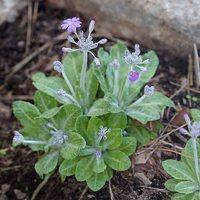 Primula farinosa · raktažolė pelenėlė 1229