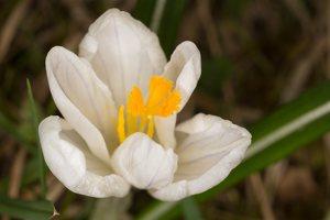 Crocus vernus · pavasarinis krokas 1244