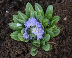 Primula denticulata · dantytoji raktažolė 1275