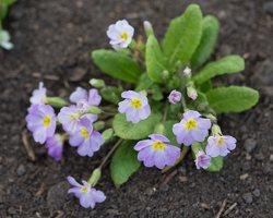 Primula vulgaris · paprastoji raktažolė 1276