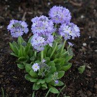 Primula denticulata · dantytoji raktažolė 1278