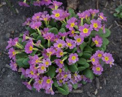 Primula vulgaris · paprastoji raktažolė 1279