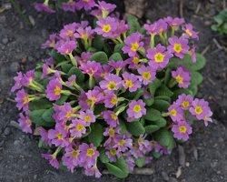 Primulaceae · raktažoliniai