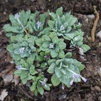 Primula farinosa · raktažolė pelenėlė 1281