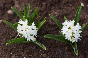 Hyacinthus orientalis · rytinis hiacintas 1284