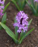 Hyacinthus orientalis · rytinis hiacintas 1286