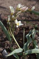 Tulipa biflora · tulpė 1289