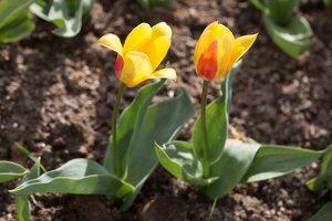 Tulipa · tulpė 1292