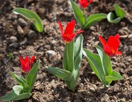 Tulipa · tulpė 1295