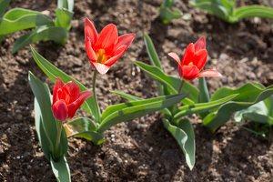 Tulipa · tulpė 1296