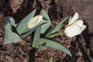 Tulipa · tulpė 1297