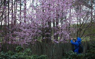 Prunus serrulata · smailiadantė vyšnia 1312