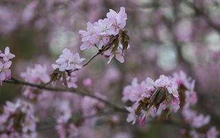 Prunus serrulata · smailiadantė vyšnia